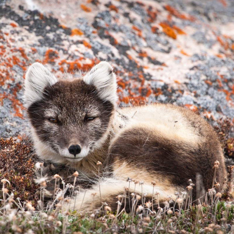 Young fox lying in the grass.