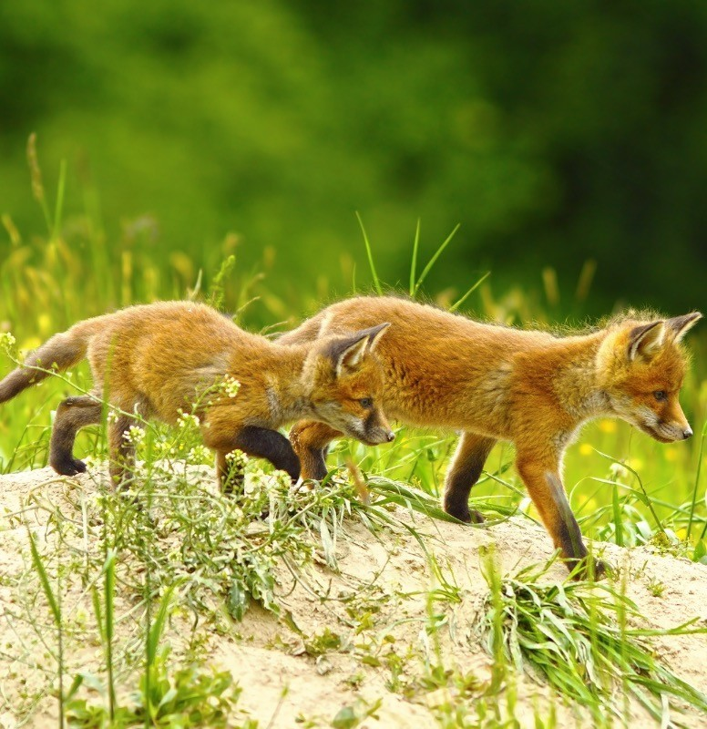 Two young foxes learning to hunt.