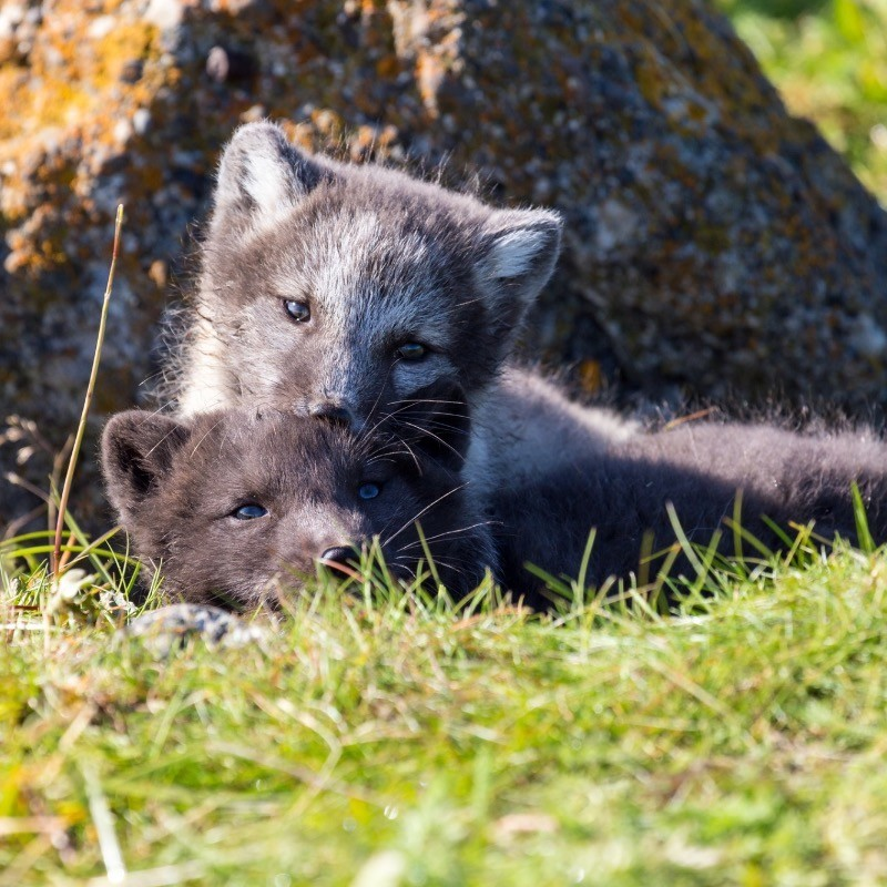 Fox siblings playing in the grass.