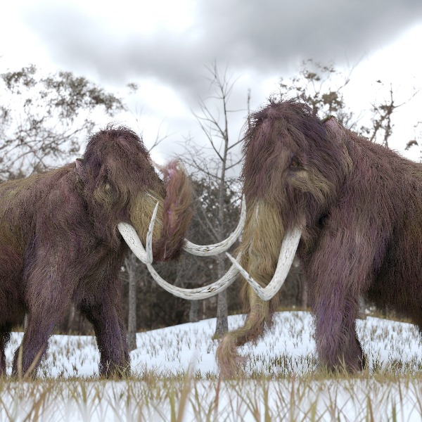 Cloning The Woolly Mammoth. Is That Still Happening?