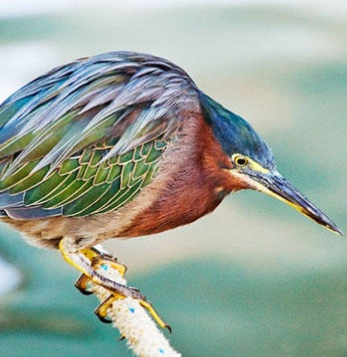 A green heron, which I've never seen in person