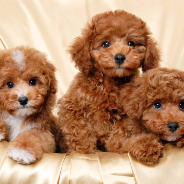 A million types of Poodles! (Okay, maybe just five.)