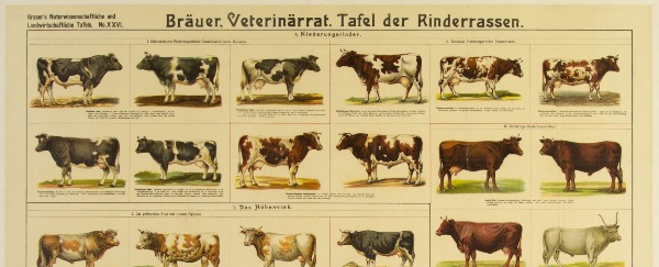 These Are A Few Of My Favorite Cow Breeds...