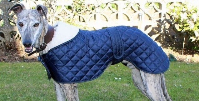 Greyhounds get cold easily and almost always need a coat.