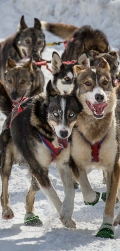 These sled dogs don't need coats, but some have shoes.