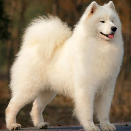 Samoyed dogs are bred for the ice and snow. The have quite a lot of fur.