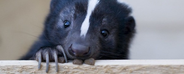 The World's Greatest Game Show: Steampunk Or Cute Skunk
