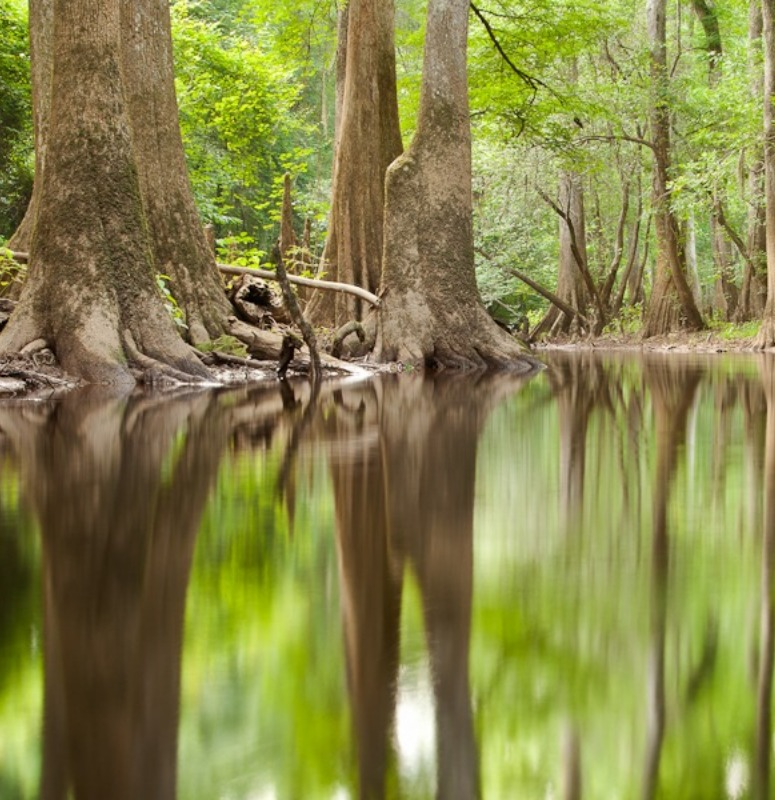 Congaree Trees