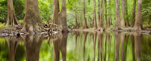 Enormous trees growing out of still waters
