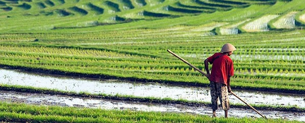 Think Rice Farming Looks Easy? Watch Out For These Rice Farm Pests!