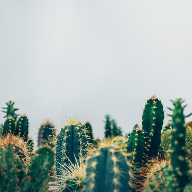 Cacti are known as one of the most common plants in Mexico